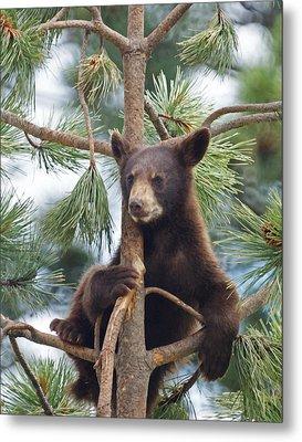 Cub In Tree Dry Brushed Metal Print by Ernie Echols