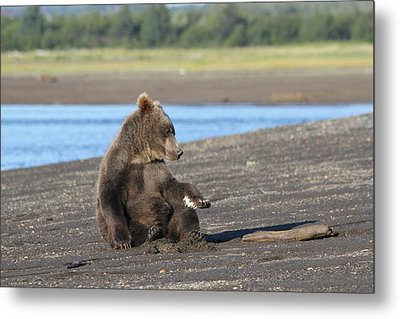 Cub With Porcupine Quils In Paw Metal Print by David Wilkinson