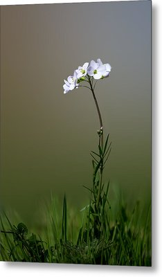 Cuckoo Flower Metal Print by Ian Hufton