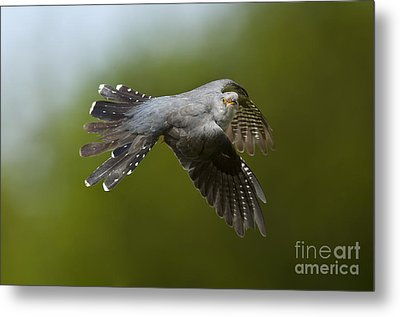 Cuckoo Flying Metal Print by Steen Drozd Lund