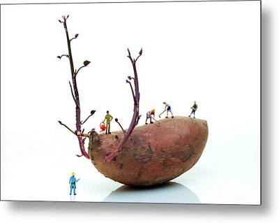 Cultivation On A Sweet Potato Metal Print by Paul Ge