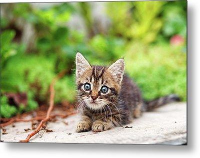 Curious Baby Cat Metal Print