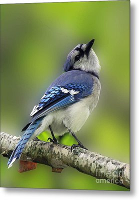 Curious Blue Jay Metal Print by Inspired Nature Photography Fine Art Photography