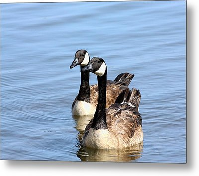 Metal Print featuring the photograph Curious Canda Geese by Sheila Brown