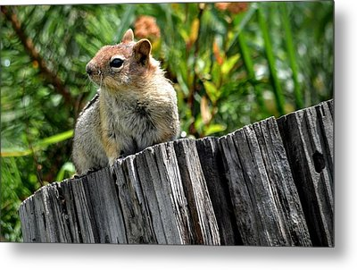 Curious Chipmunk Metal Print by AJ Schibig