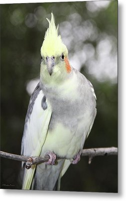 Curious Cockatiel Metal Print by Inspirational Photo Creations Audrey Woods