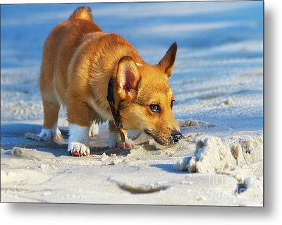 Curious Corgi Metal Print by Stephanie Hayes