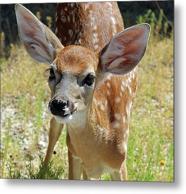 Curious Fawn Metal Print by Inspirational Photo Creations Audrey Woods