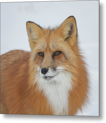 Curious Fox Metal Print by Jack Bell