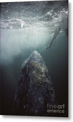 Curious Gray Whale And Tourist Metal Print by Tui De Roy