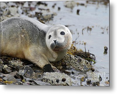 Curious Harbor Seal Pup Metal Print