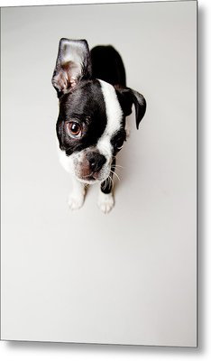 Curious Metal Print by Square Dog Photography