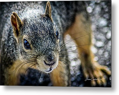 Metal Print featuring the photograph Curious Squirrel by Joann Copeland-Paul