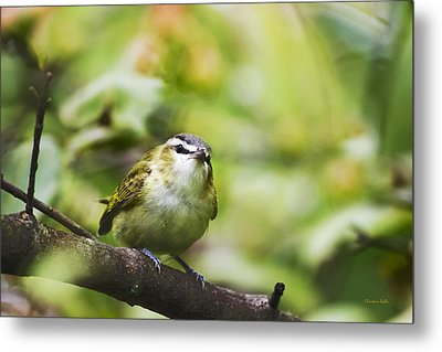 Curious Vireo Metal Print by Christina Rollo