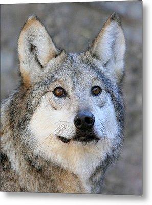 Curious Wolf Metal Print