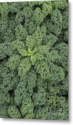 Curly Kale Metal Print