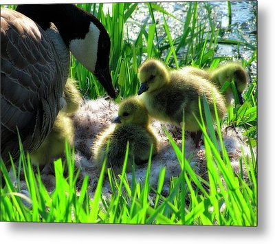 Cute And Fuzzy - Take 3 Metal Print by Scott Hovind