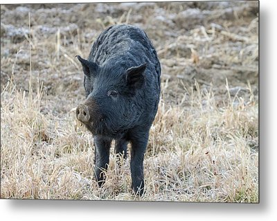 Metal Print featuring the photograph Cute Black Pig by James BO Insogna