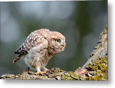 Cute Little Owlet Metal Print by Roeselien Raimond