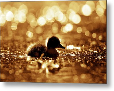 Cute Overload Series - Duckling Reflections Metal Print