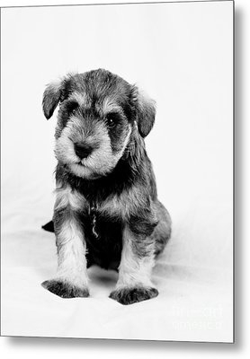 Cute Puppy 1 Metal Print by Serene Maisey