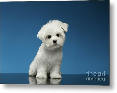 Cute Pure White Maltese Puppy Standing And Curiously Looking In Camera Isolated On Blue Background Metal Print