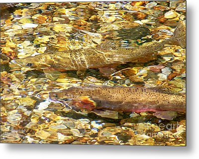 Cutthroat Trout In Clear Mountain Stream Metal Print by Greg Hammond