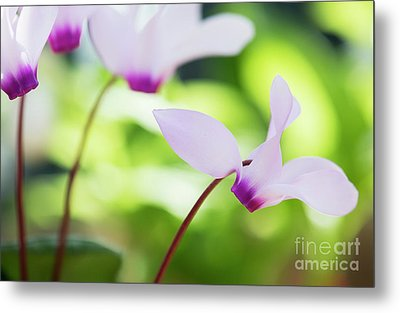 Metal Print featuring the photograph Cyclamen Persicum by Tim Gainey