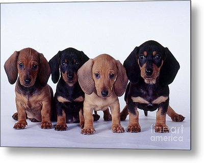 Dachshund Puppies  Metal Print by Carolyn McKeone and Photo Researchers