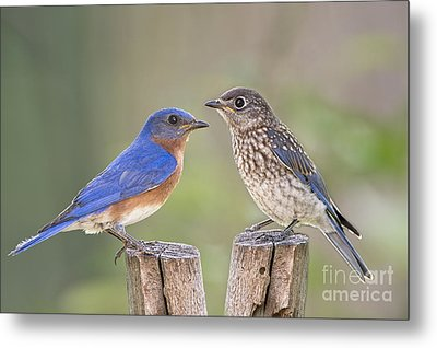 Daddy Bluebird And Juvenile Metal Print by Bonnie Barry