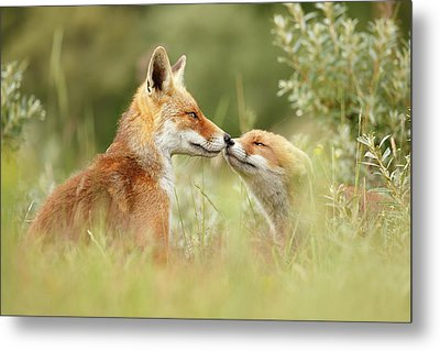 Daddy's Girl - Red Fox Father And Its Young Fox Kit Metal Print by Roeselien Raimond