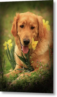 Daffodil Dreams Metal Print by Kim Henderson