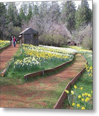 Daffodil Hill Pathway Metal Print by Karen J Shine