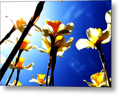 Daffodil Metal Print by Nathan Grisham