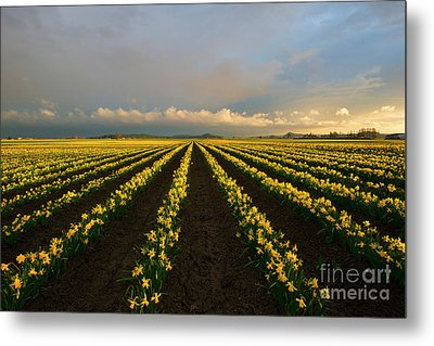 Metal Print featuring the photograph Daffodil Storm by Mike Dawson