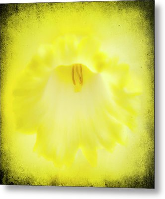 Daffodils Are Yellow Metal Print by Meirion Matthias