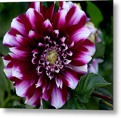 Dahlia Metal Print by Denise Romano