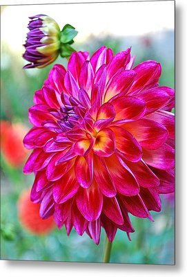 Dahlia Fuchsia Surprise  Metal Print