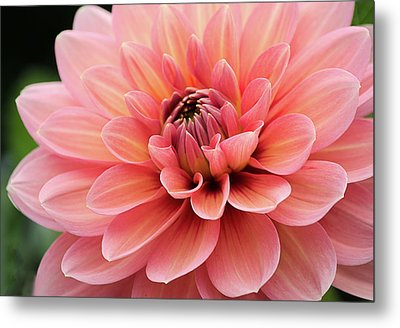 Metal Print featuring the photograph Dahlia In Pink And Peach by Julie Palencia