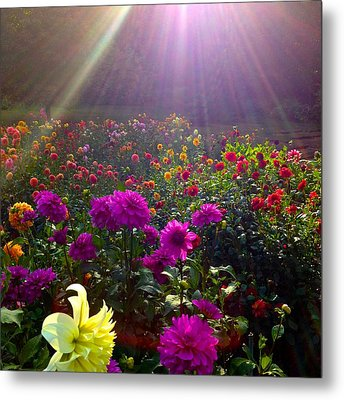 Dahlias Kissed By Sun-rays  Metal Print