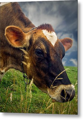 Dairy Cow Eating Grass Metal Print by Bob Orsillo