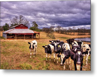 Dairy Heifer Groupies The Red Barn Art Metal Print by Reid Callaway