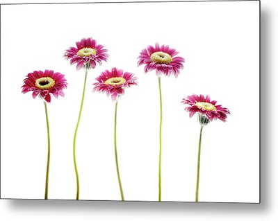 Metal Print featuring the photograph Daisies In A Row by Rebecca Cozart