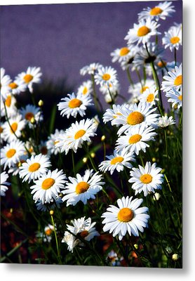 Daisies Metal Print by Lana Trussell