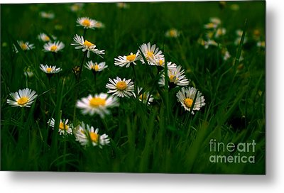 Metal Print featuring the photograph Daisies by Louise Fahy