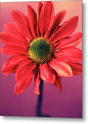 Daisy 1 Metal Print by Joseph Gerges