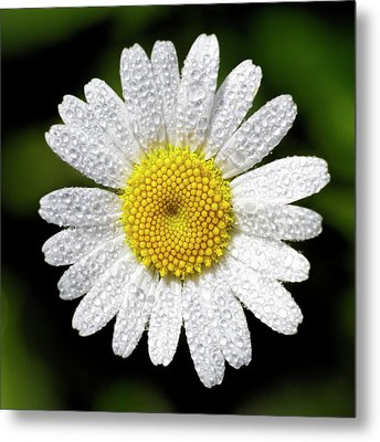 Daisy And Dew Metal Print by Rob Graham
