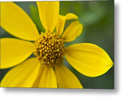Metal Print featuring the photograph Daisy Daisy by Daniel Hebard