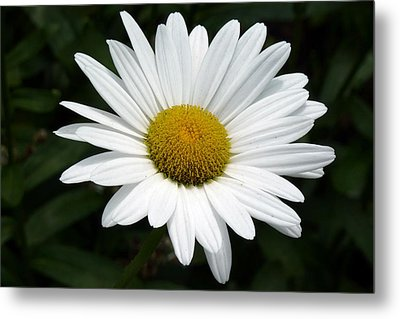 Metal Print featuring the photograph Daisy Daisy by Tim Mattox