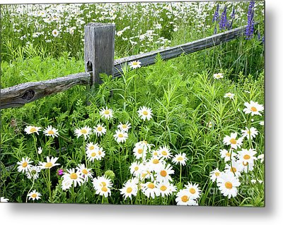 Daisy Fence Metal Print by Susan Cole Kelly